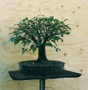 bonsai-di-olmo-francesco-copia_page15_image6