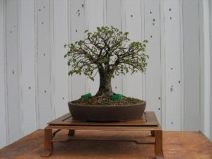 bonsai-di-olmo-francesco-copia_page15_image9